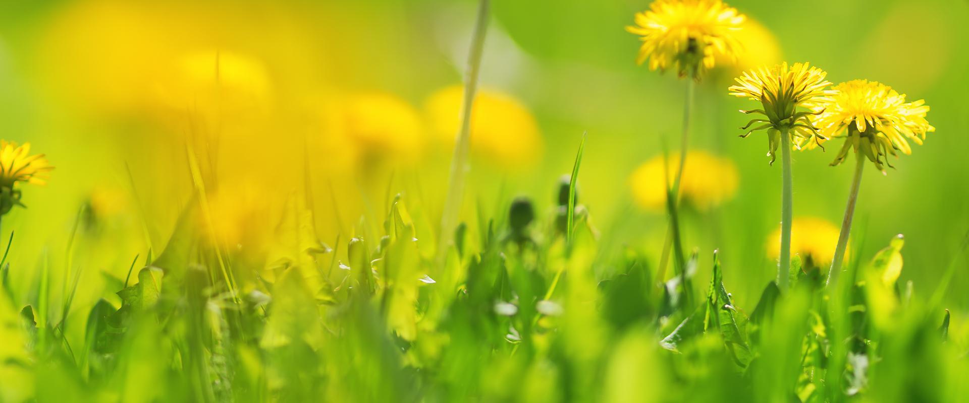dandelions in tarrant county