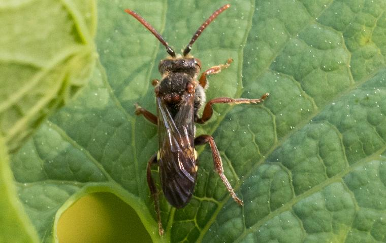 a chinch bug on a leaf in tarrant county
