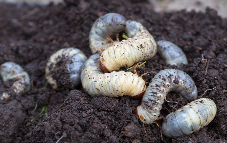 grubs in dirt in tarrant county