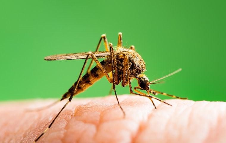a mosquito biting a finger in tarrant county