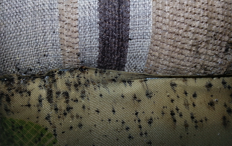 bed bugs and bed bug droppings