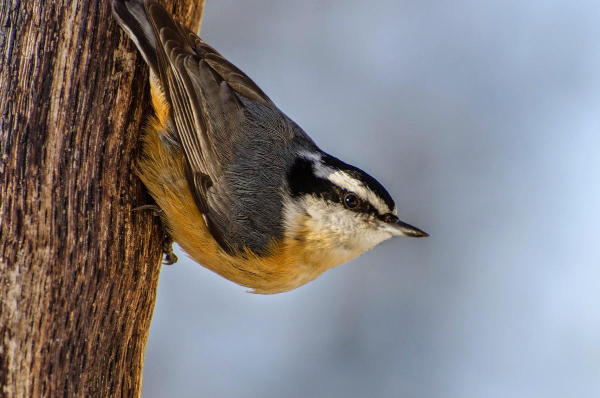 Red-breasted Nuthatch. Photo credit: Jean Polfus