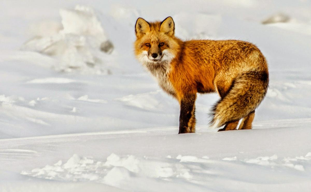 Red Fox. Photo credit: Jean Polfus
