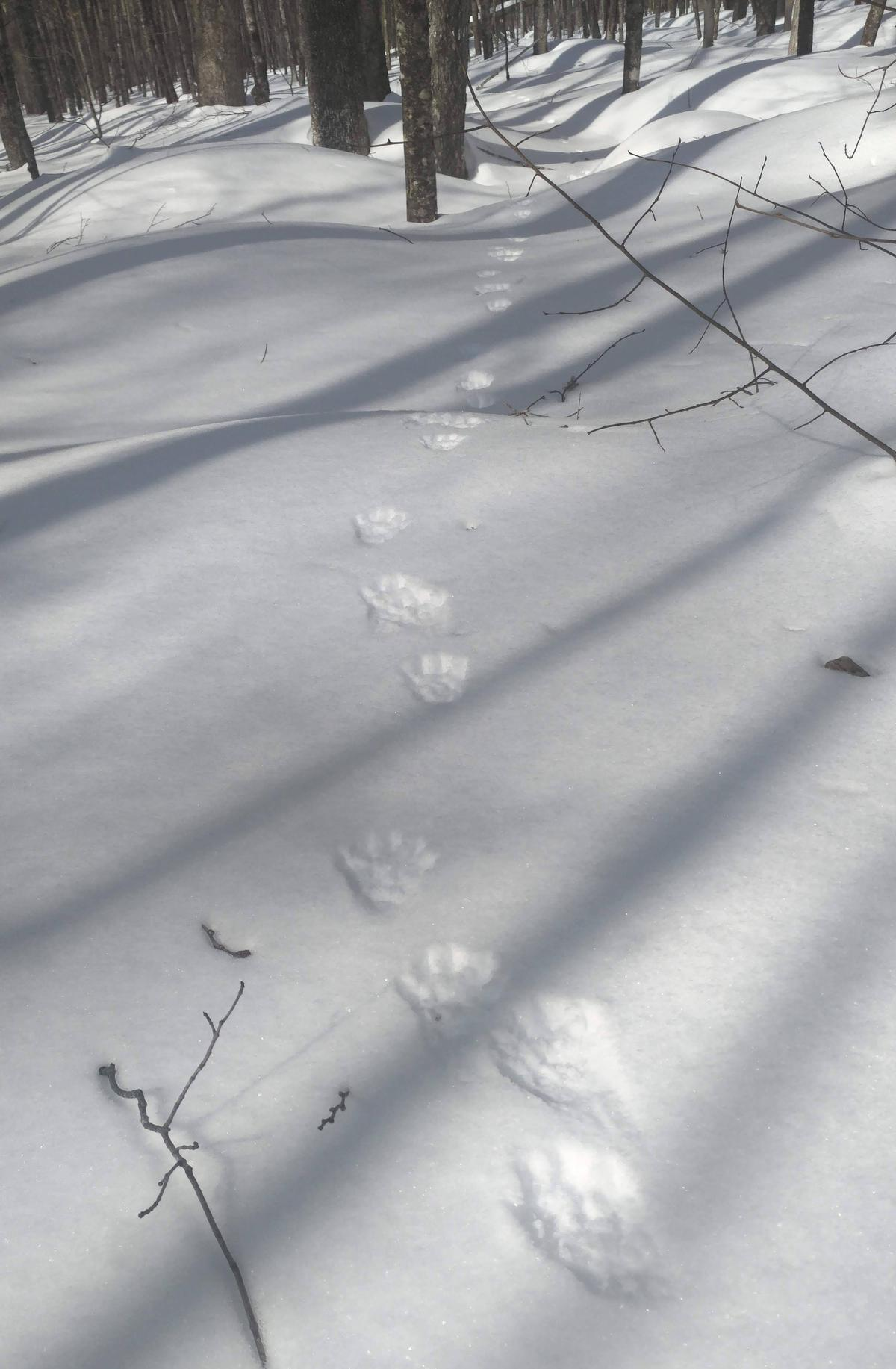 Fisher tracks through the snow.