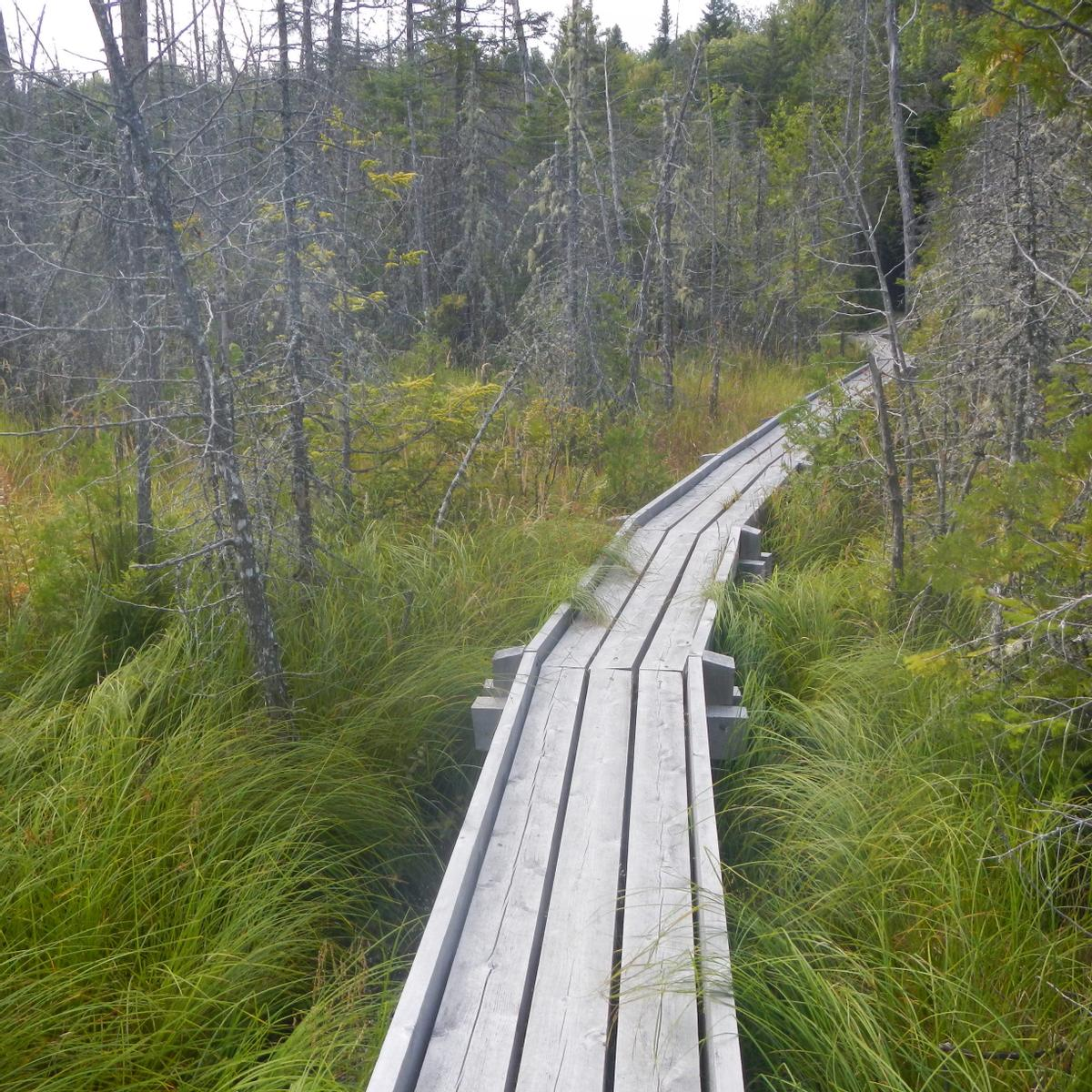 A somewhat narrow wooden boardwalk goes into a swamp