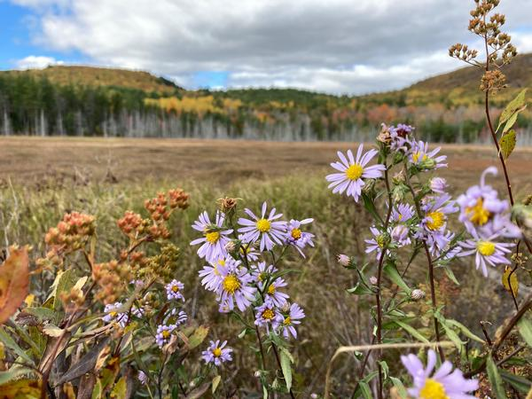 Wild Sun Catchers: Asters