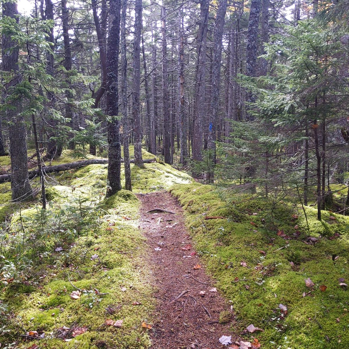 A narrow trail with leaf litter travels through a spruce forest