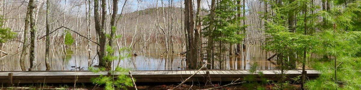 A boardwalk crosses a flooded swamp in the spring.
