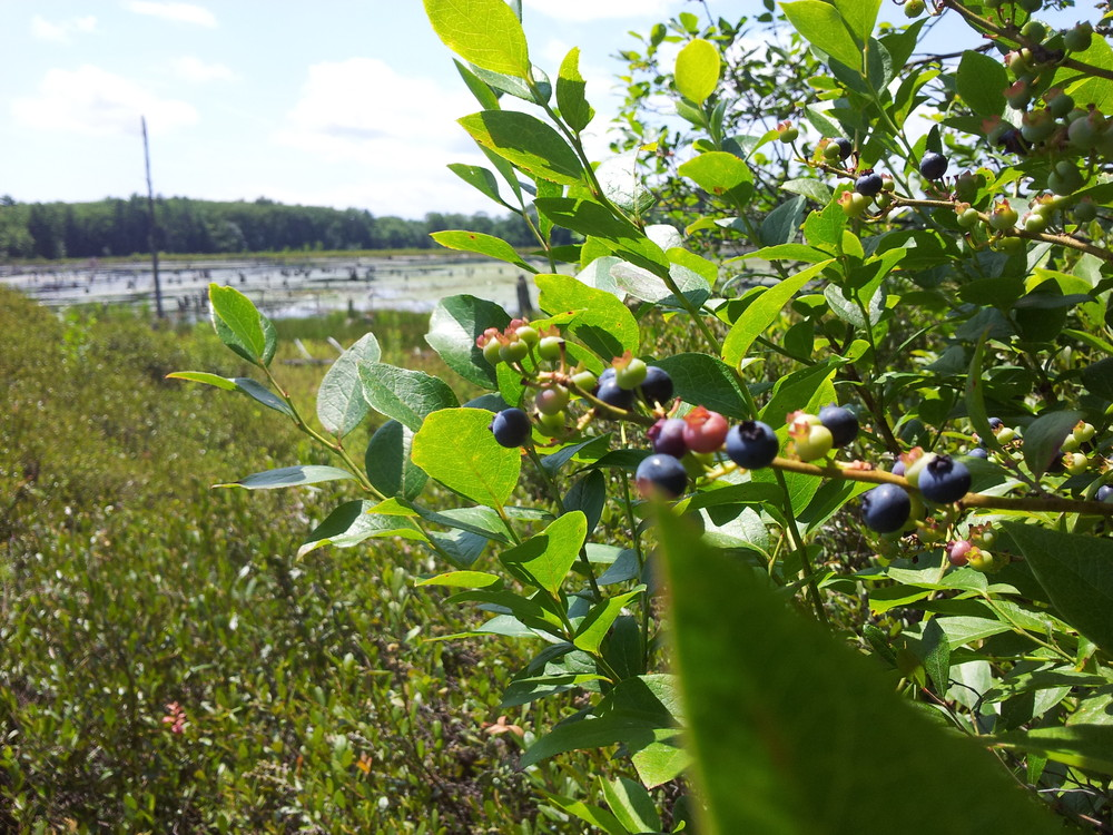 Berries along the pond's shore (Credit: Royal River Conservation Trust)