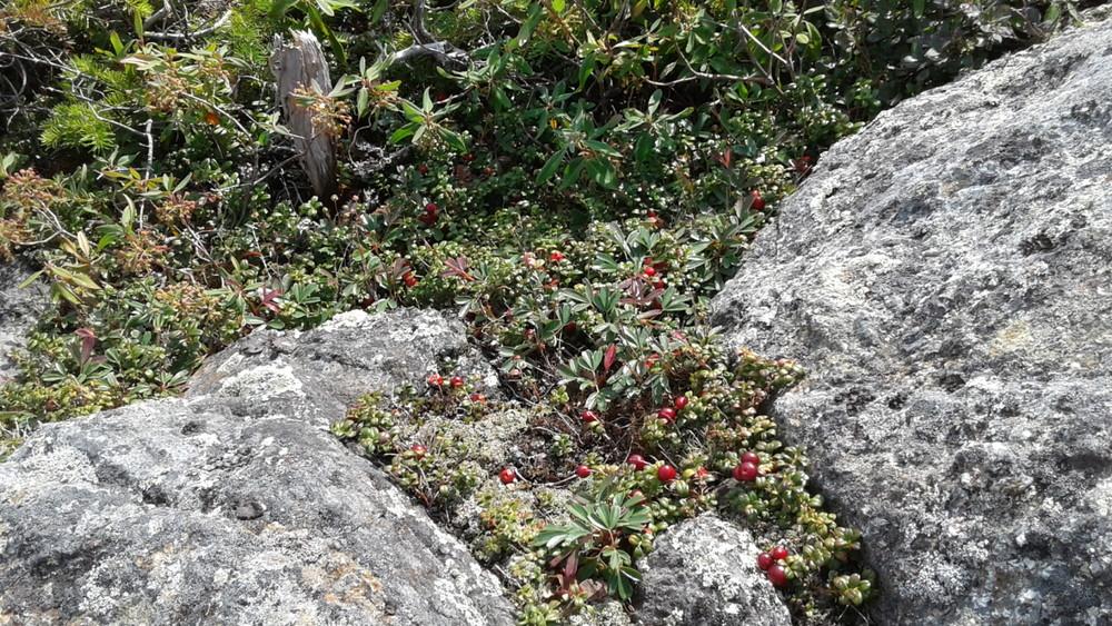 Alpine plants: Mountain Cranberry (Credit: WillAnne)
