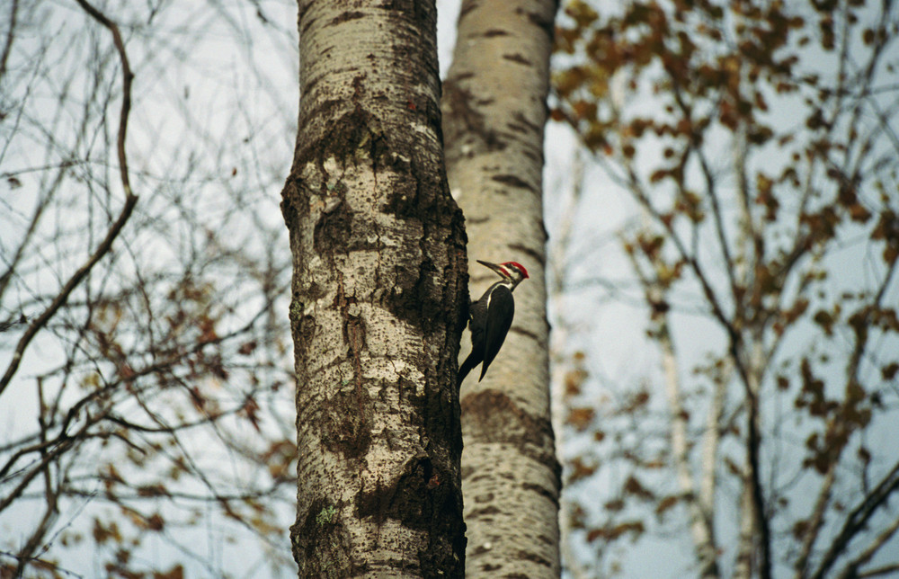 Pileated Woodpecker on the River Pond Nature Trail (Credit: Evan Watson)
