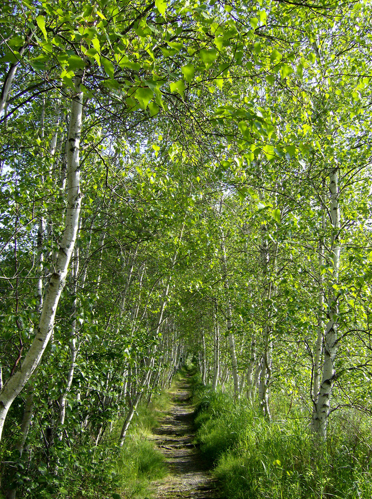 Birches Along the Hemlock Road Loop (Credit: National Park Service)
