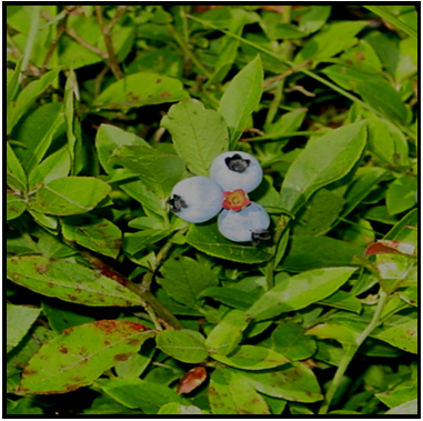 Lowbush Blueberries (Credit: Theresa Kerchner)