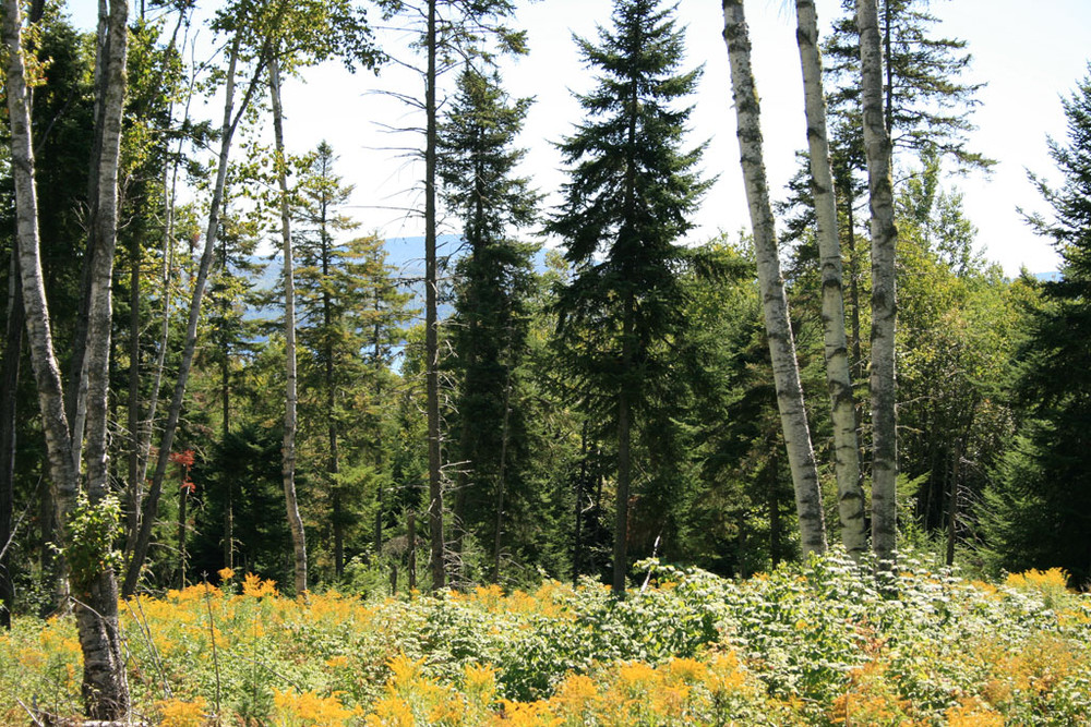 Flowers in Bloom Looking through Trees to Rangeley Lake (Credit: Shelby Rousseau)