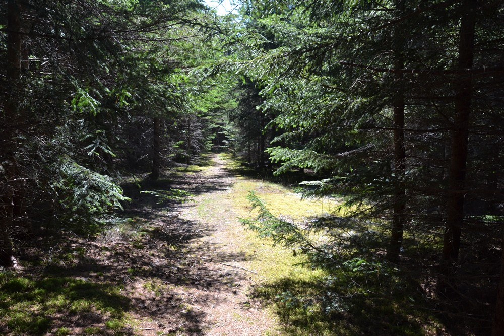 Dry, pine needled trail (Credit: Maine Trail Finder)