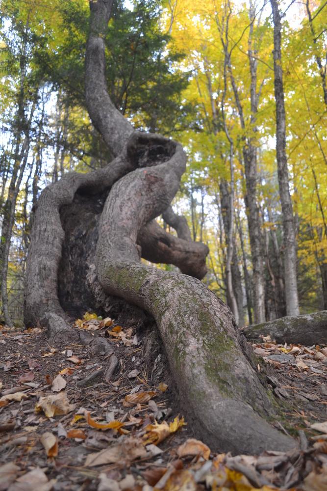 Interesting tree growth near the trail (Credit: Brian Kent)