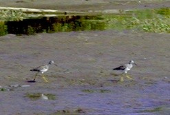 Greater yellowlegs on the Magalloway River (Credit: USFWS)
