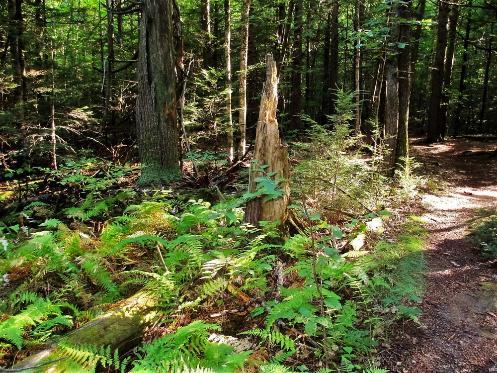 Ferns grow profusely throughout the preserve (Credit: Maine Trail Finder)
