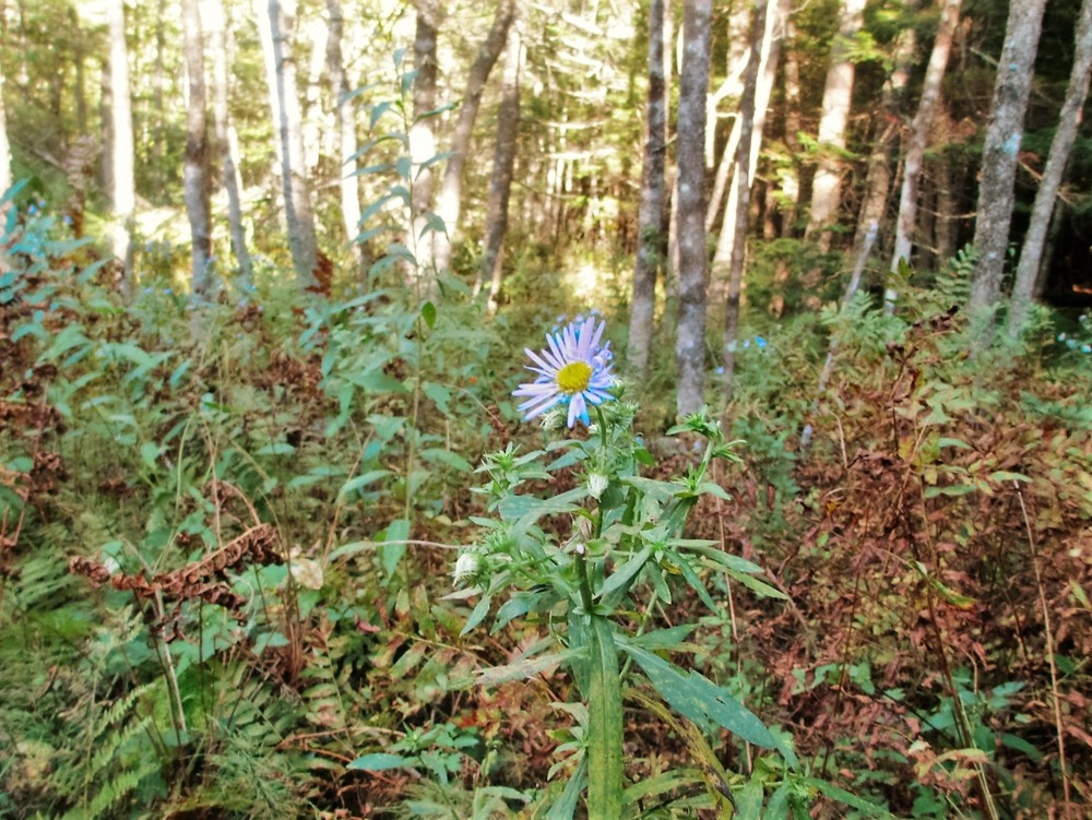 Late-summer flowering (Credit: Maine Trail Finder)