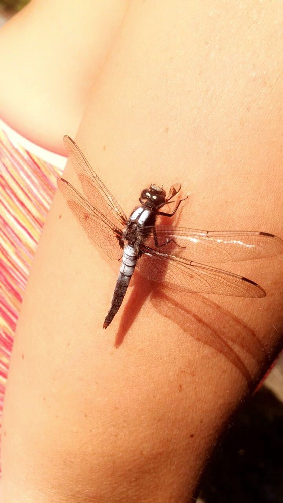 A dragonfly, saving Mom from the horseflies (Credit: Samantha Lavoie with Christina Emerson)