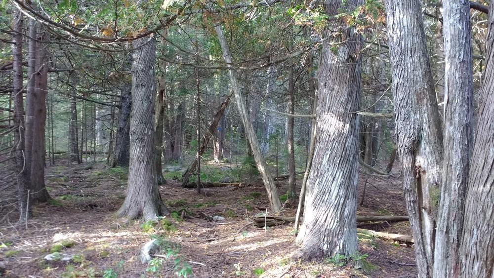 Cedar Grove on Blueberry Trail (Credit: Dawn Charnetzky)