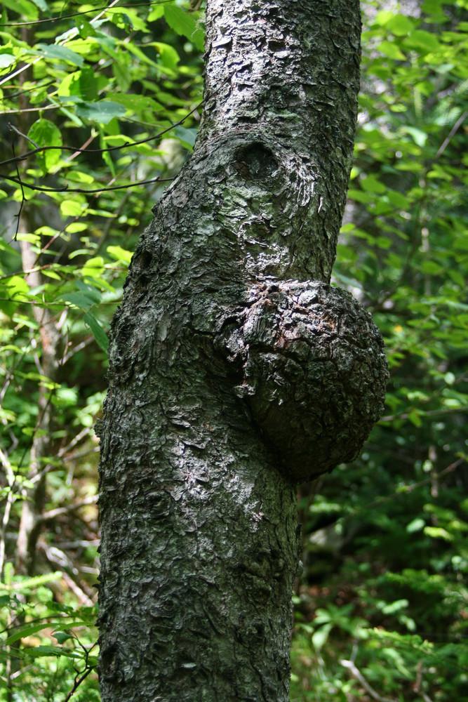 Hardwood Burl on Trailside Tree (Credit: L. L. Wall (Panoramio))
