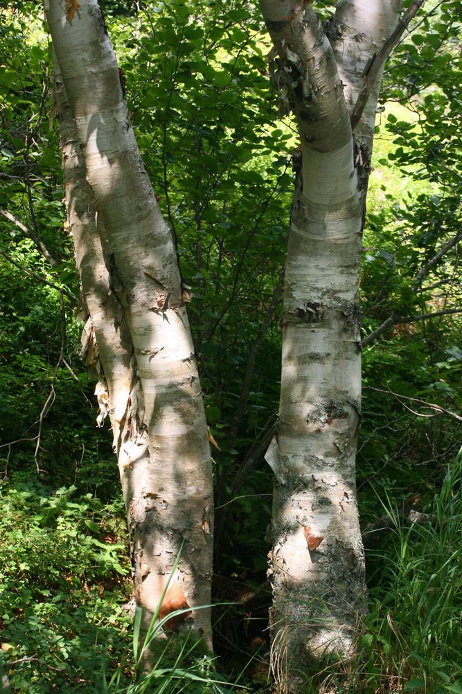 White Birches (Credit: L. L. Wall)