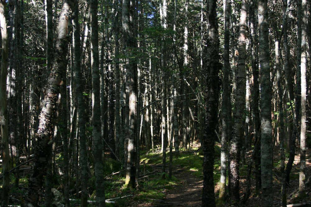 Spindly Regrowth in Crowded Forest (Credit: L. L. Wall (Panoramio))