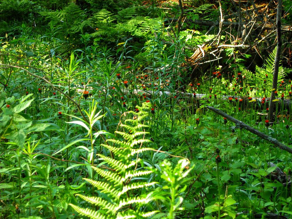 Ferns and Indian Paintbrushes (Credit: Jo Josephson)
