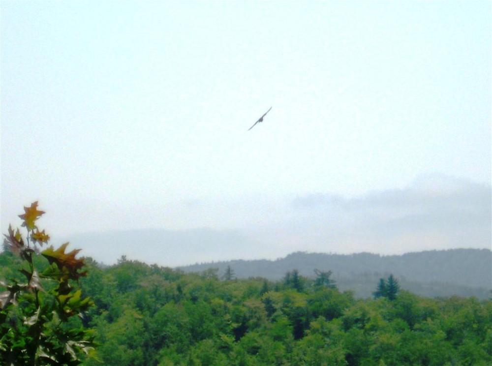 Peregrine Falcon (Credit: Landon Fake)