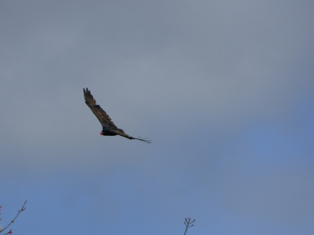 Turkey Vulture in flight over the lookout. (Credit: Chris Nason)