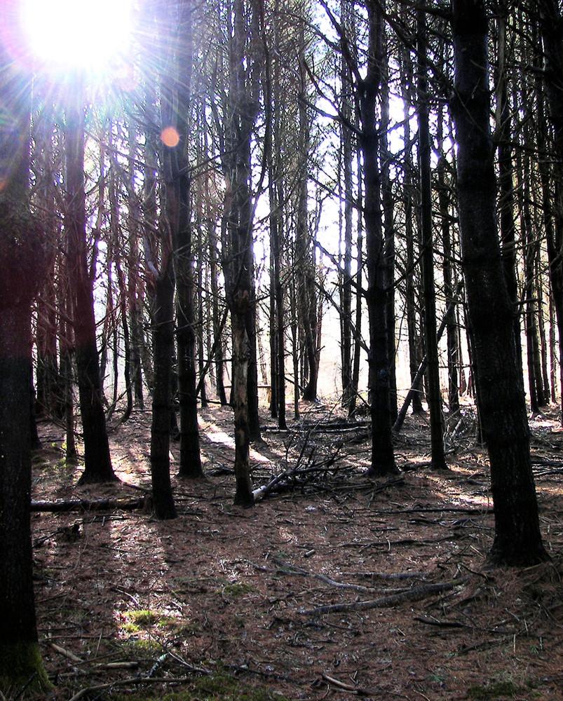 Pine Grove (Credit: Windham Land Trust)