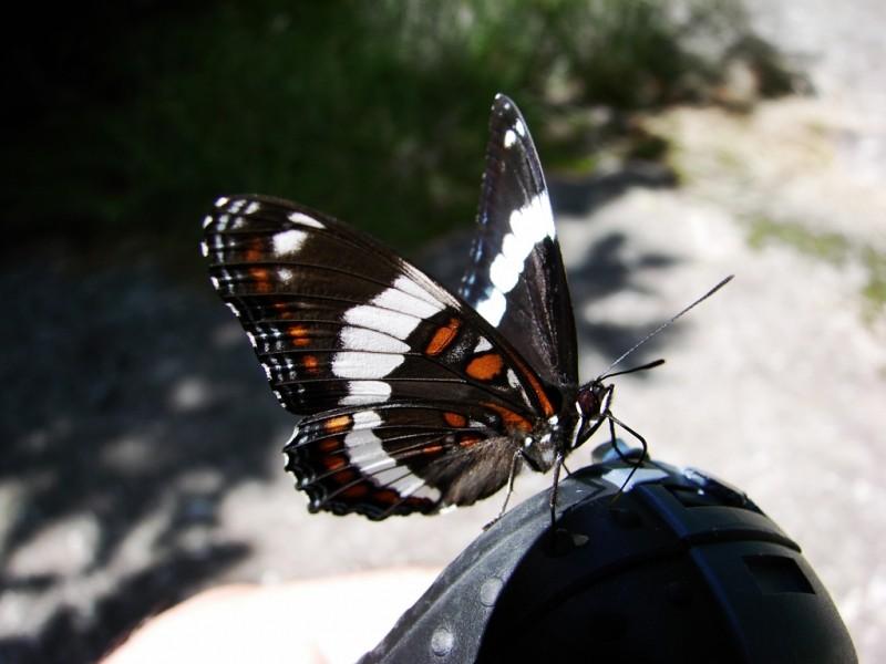 A White Admiral Butterfly (Credit: Ken Gross)