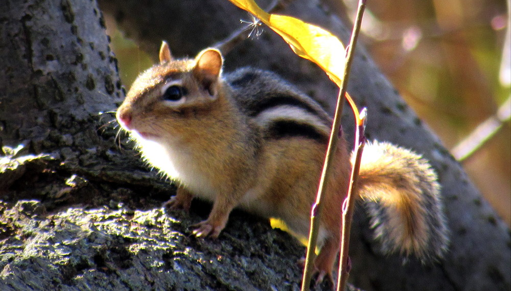 A chipmunk near the trail watching me closely (Credit: gary janson)