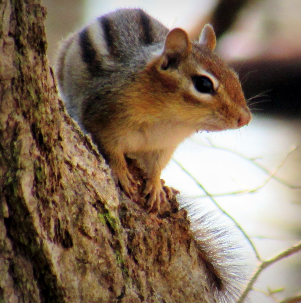 One of the many resident chipmunks I met along the trail (Credit: gary janson)