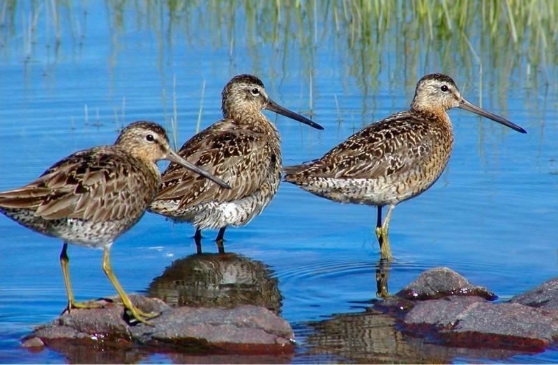 Short-billed Dowitchers at Petit Manan Wildlife Refuge (Credit: Craig Snapp)