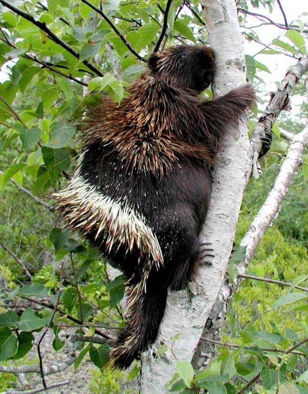 Porcupine at Petit Manan Wildlife Refuge (Credit: Craig Snapp)