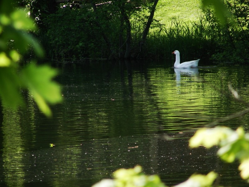 Swans are heard from much further away than they are seen! (Credit: Ken Gross)