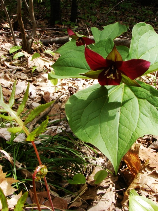 Trillium grows in abundance (Credit: Ken Gross)