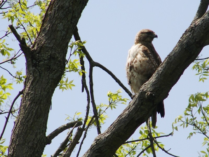 Juvenile Red-Tailed Hawk, one of many bird species which findrefuge at Gilsland Farm (Credit: Ken Gross)