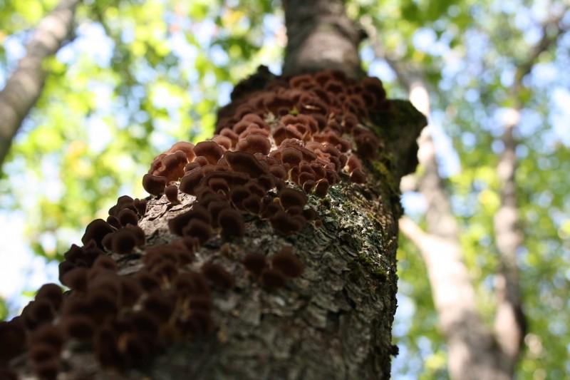 Tree with fungus (Credit: J. Evans)