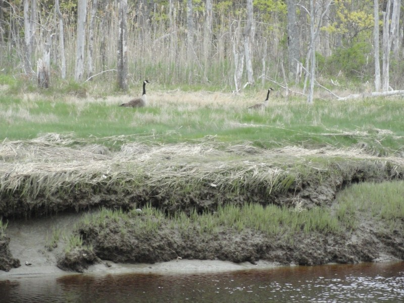 Canada Geese on the marsh (Credit: Center for Community GIS)
