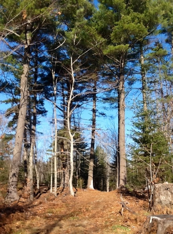 Tall Pines along Ridge Road (Credit: Karen McCann)