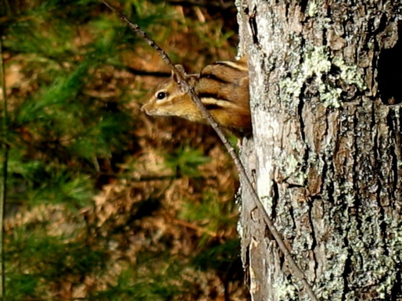 Chipmunk guarding the Lynx Trail (Credit: Friends of Libby Hill)
