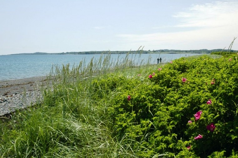 Beach Roses and Dune Grass near the Beach (Credit: Downeast Coastal Conservancy)
