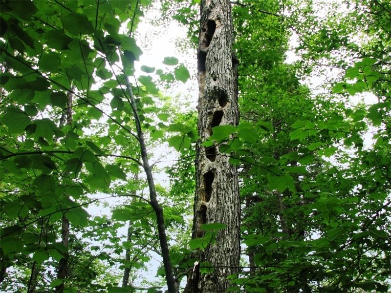 Woodpecker Tree (Credit: Joel Alex)