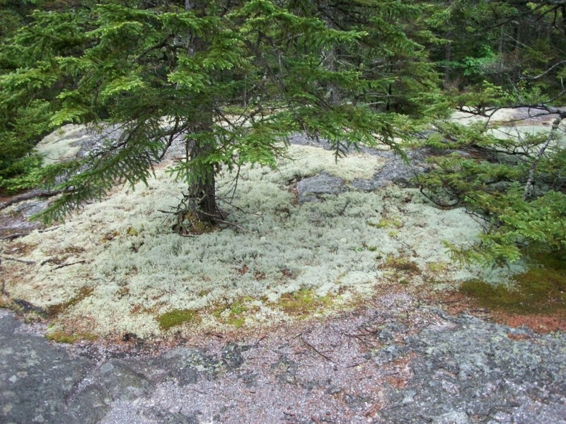 Reindeer Lichen along the Moose Cave Trail (Credit: Maine Bureau of Parks and Lands)