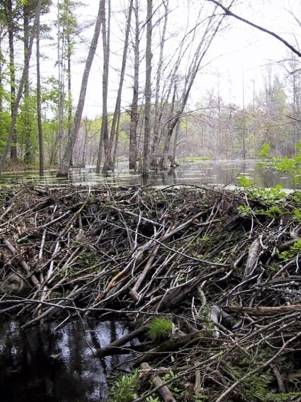 Beaver Dam (Credit: Great Works Regional Land Trust)