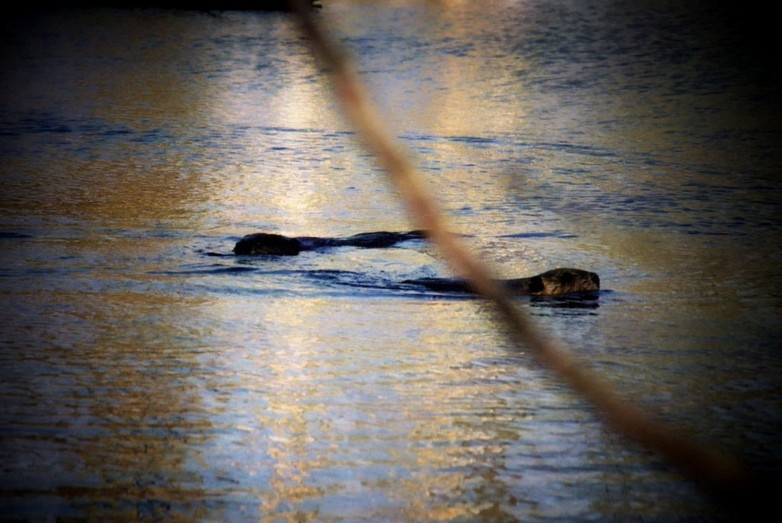 Beavers (Credit: Great Works Regional Land Trust)