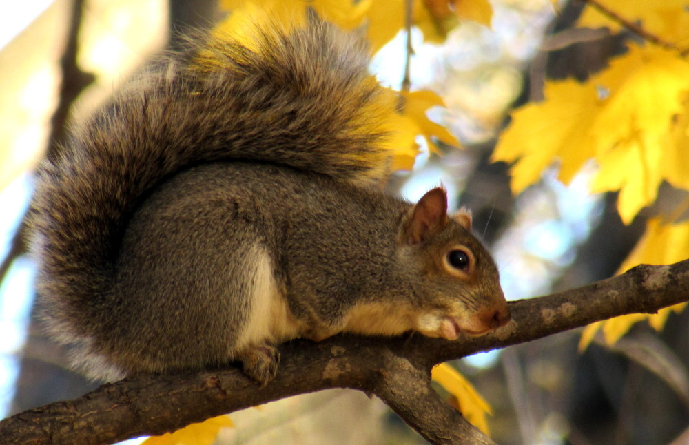 A Grey Squirrel barking at me from the safety of a tree (Credit: gary janson)